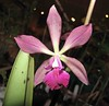 Epicattleya Purple Glory [香港沙田洋蘭展 Shatin Orchid Show, Hong Kong] (阿橋花譜 KHQ Flower Guide) Tags: orchidaceae epicattleya 蘭科