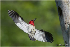 """Red-headed Woodpecker (130609-0188) (Earl Reinink) Tags: ontario canada art nature photography woodpecker nikon flickr photographer nest image images earl flikr d4 art"""" """"nikon photography"""" images"""" """"nature lens"""" ontario"""" canada"""" ontbirds """"fine """"earl flight"""" photographer"""" lenses"""" woodpecker"""" """"woodpecker reinink """"nesting reinink"""" d4"""" niagara"""""""