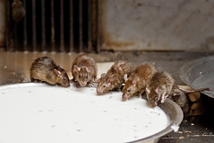 At the Rat Temple - A photo of the Reincarnated Male members of the Charan clan (Anoop Negi) Tags: india temple photography photo milk rat drinking rats indie anoop indien bikaner rajasthan charan pail inde deshnok negi deshnoke  caste  ndia   ezee123  intia  n        ndia n indi