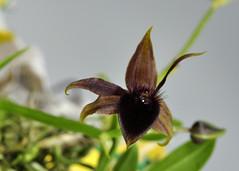 Telipogon falcatus (Orquideología) Tags: orchidaceae telipogon falcatus oncidiinae epidendroideae cymbidieae