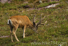 """Mule Deer Buck • <a style=""""font-size:0.8em;"""" href=""""http://www.flickr.com/photos/63501323@N07/9456553615/"""" target=""""_blank"""">View on Flickr</a>"""