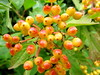 August 15 - Berries (tiredlegs2) Tags: autumn red yellow canon berries hedge 365 g12 2013 canong12 2013x365
