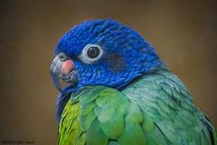 Maitaca-de-cabea-azul  (Pionus menstruus)  -  Blue-headed Parr (Marcus Vinicius Lameiras) Tags: nature birds brasil