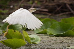 FLR_10_4667 (lavilotte-rolle) Tags: nature birds delta vol oiseaux lieux faune blongiosnainixobrychusminutus