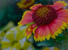 Loving the Sun today. (Omygodtom) Tags: wild macro nature digital garden nikon dof bokeh tammy tamron tamron90mm dk7 simpleflowers d7000
