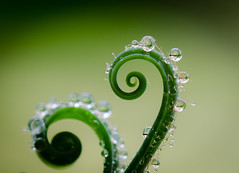 Nature has a twist too.Explored (Omygodtom) Tags: park wild fern macro art nature nikon dof bokeh tammy tamron twisted raindrop twisty tamron90mm dk7 d7000