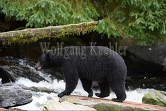 00154821 (wolfgangkaehler) Tags: bear usa alaska creek unitedstates wildlife unitedstatesofamerica northamerica blackbear southeastalaska alaskan neetsbay northamerican behmcanal americanblackbearursusamericanus