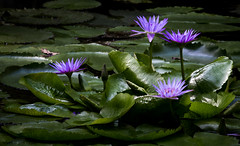 Ninfia-azul  (Nymphaea caerulea)  -  Water Lily (Marcus Vinicius Lameiras) Tags: flowers nature water brasil de photo flickr lily marcus natureza ngc flor fotografia nymphaea vinicius caerulea jardimbotnicodoriodejaneiro 8181 ninfiaazul mavila lameiras flickrmarcusviniciuslameiras canon7dcanonef100400mmf4556lisusm