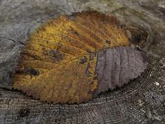 269 - September 26 - Camouflage (Kristoffersonschach) Tags: autumn leaf nikon coolpix blatt 2013inphotos