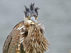 Spike (Melanie Leeson) Tags: bird heron birds canon youngheron birdsinthewild greatblueheronjuvenile blingsister cowichanriverestuaryvancouverislandbritishcolumbia