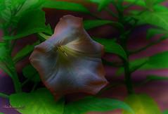 Trumpet of Glory in HDR IMG_1194_HDRa (IndyMcDuff (Bellifemine Studios)) Tags: autumn flower fall photoshop canon nj handheld nik hdr cs6 artisticflowers t5i invitingimages dreamlikephotos trumpetsofglory