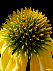 Yellow Coneflower - chinace jaune (monteregina) Tags: flowers plants canada abstract macro texture nature yellow closeup composite fleurs jaune petals flora heart echinacea cone patterns centre details natur shapes center coeur structure illusion qubec coneflower plantae spikes opticalillusion spiny desing flore whorl onblack abstrait swril compositae whorls ptales dtails fillframe monteregina astraces