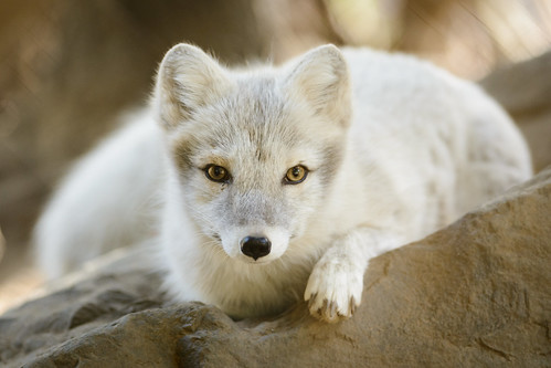 Arctic Fox - Paying Attn by Eric Kilby, on Flickr