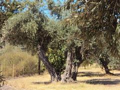 OLIWKI - OLIVOS - OLIVE TREES - ΕΛΙΕΣ