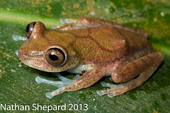 Hypsiboas nympha (Nathan Shepard) Tags: canon amazon colombia nathan amphibian shepard herpetology 70d herping anuran amphibiandecline nympha hypsiboas