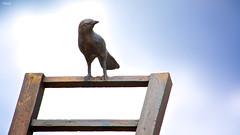 Canta (Blas Torillo) Tags: sculpture bird art mxico mexico nikon arte escultura ave puebla pjaro professionalphotography fotografaprofesional mexicanphotographers d5200 fotgrafosmexicanos nikond5200