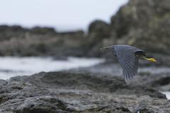 Flying (Sasha Kravets) Tags: ocean travel holiday bird fiji rocks air