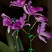 Laelia anceps x Cattleya Molly Tyler – Bill Wong