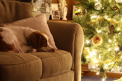 Waiting for Santa (rlgidbiz1) Tags: santa christmas dog pet brittany holidays spaniel pup vision:outdoor=0543 vision:sky=0592