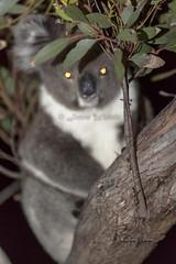 Awaiting - 0214 (Jason Whittle Photography) Tags: koala peninsula mammals marsupials phascolarctoscinereus bearsa arborealherbivorousmarsupial koalasouth australiasaport lincolneyre