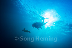 scuba diving with Sea turtle (NiCK) Tags: travel blue sea summer sunlight fish beach nature water sunshine coral swimming outdoors underwater tortoise surface scubadiving relaxation seaturtle tranquilscene beautyinnature vacationvulnerablewaterwildlife