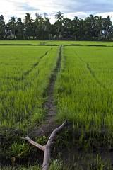 Palay fields (heykliff) Tags: travel field rice philippines masbate palay 2013 capaculan