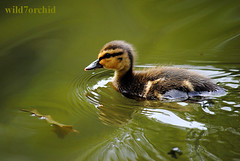 Ducklings - 8 (wild7orchid) Tags: uk sun cute bird london water beautiful sunshine birds duck spring funny duckling adorable ducks ducklings chick chicks 2013 wild7orchid
