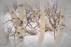 Bianco su bianco (Laralucy) Tags: white alberi nikon ngc natura neve sicily etna montagna bianco sicilia mareneve magicunicornmasterpiece betulladelletna