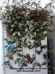 Tradescantia on fridge in kitchen 25-11-2013 (Davy1000) Tags: tradescantia zebrina 2013