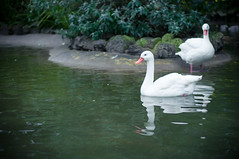 Swan Sis (CarbonNYC [in SF!]) Tags: sf sanfrancisco california white reflection bird birds swimming zoo swan swans bayarea sfzoo sanfranciscozoo outersunset carbonnyc carbonsf