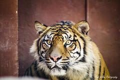 Tiger, Toronga Zoo (PaulKillenPhotos) Tags: life wild animal animals paul photography zoo tiger sydney australia toronga killen