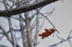 Sole Survivor (pooroldtim) Tags: trees blackandwhite bw newyork nature leaves spring nikon selectivecolor nikond7000