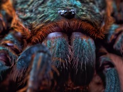 Chromatopelma cyaneopubescens, sub-adult (_papilio) Tags: macro canon spider arachnid tarantula nikkor invertebrate papilio arthropod 6d theraphosidae mpe65mmmacro