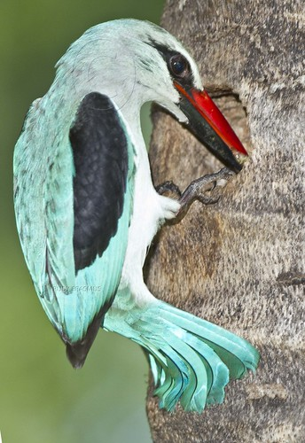 Woodland  Kingfisher with cut worm at nest  entrance_0017