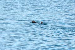 _MG_3960a (markbyzewski) Tags: alaska ugly seaotter glacierbaynationalpark