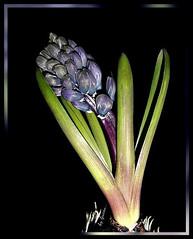 Ours Hyacinth today..... (ljucsu) Tags: hyacinth flowersmacro vpu1 vpu2 vpu3 vpu4 vpu5 vpu6 vpu7 vpu8 vpu9 vpu10