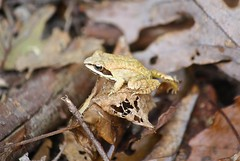 "Wood Frog • <a style=""font-size:0.8em;"" href=""http://www.flickr.com/photos/92887964@N02/12106113683/"" target=""_blank"">View on Flickr</a>"