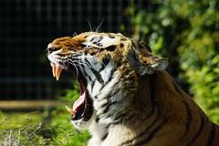 Bengal tiger bares teeth (P_1_B) Tags: nature wildlife tiger bigcat bigcats bengaltiger wildlifepark shepreth sheprethwildlifepark slta77v {vision}:{mountain}=0678 {vision}:{outdoor}=0794