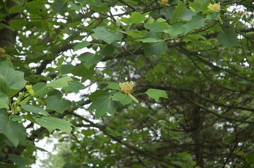 "Tulip Poplar Flower in Context <a style=""margin-left:10px; font-size:0.8em;"" href=""http://www.flickr.com/photos/91915217@N00/12356080473/"" target=""_blank"">@flickr</a>"