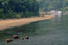 Water Buffalos, Li River IMG_3974 (lycheng99) Tags: china cruise liriver boat guilin guangxi waterbuffalos líjiāng mygearandme mygearandmepremium