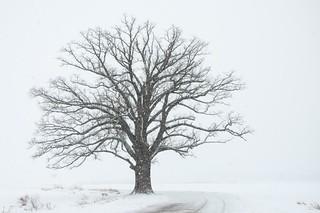 bur oak in snow2