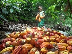 Exportacin de Cacao a Italia (UNODC Colombia) Tags: familia trabajo colombia bolvar cultivo regin campesinos cacao unodc desarrolloalternativo unodccolombia