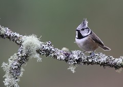 Crested Tit (Markp33) Tags: crestedtit