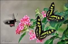 MALACHITE, FAUX OIL (susies.genii) Tags: greenleaves pinkflowers magicwings butterflyconservatory oilpainteffect pianokeybutterfly southdeerfieldma imaginaryscene creativeediting painterlyeffect bokehbackground malachitebutterflies fauxoileffect february72014