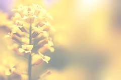 Sun Shining Day (flashfix) Tags: ontario canada flower macro green nature floral yellow petals stem nikon bokeh ottawa 40mm mothernature 2014 onecolour softexposure d7000 nikond7000 lunchhourphotography 2minutemacro 2014inphotos may232014