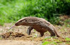 Bengal (Common Indian) Monitor ( ) (Kowshik Baral) Tags: wild green nature snake wildlife amphibian monitor lizard bangladesh monitorlizard kowshik