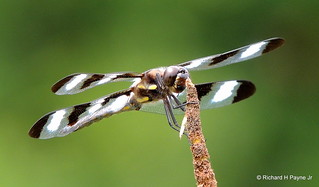 Male Twelve-spotted Skimmer_N0740