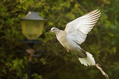 Collared dove takes off (P_1_B) Tags: bird nature dove wildlife birding birdwatching cambridgeshire collareddove cambourne sigma150500 sonya77 slta77 slta77v sonya77v
