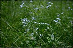 zartes blau (mayflower31) Tags: blue flower wiese blau blume vergissmeinnicht