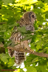 Momma! Come back momma! (mikerhicks) Tags: usa bird geotagged unitedstates nashville hiking tennessee wildlife owl barredowl warnerparks canon7d nashvillehikingmeetup vaughnsgap sigma18250mmf3563dcmacrooshsm geo:lat=3607561650 geo:lon=8687375150